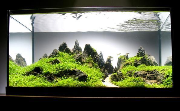hemianthus kocka u akvariju
