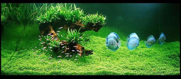 sadržaj akvarija chemanthus kocka