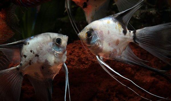 Plemenski angelfish.