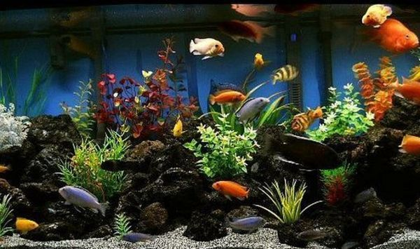 Ideea unui acvariu pentru cichlide.