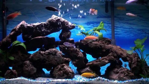 Proiectați-vă singur un acvariu pentru cichlide.