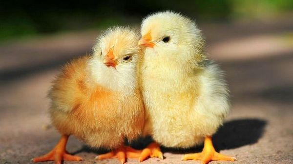 biomycín pre zvieratá