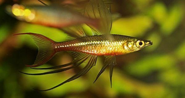 Аквариумни рибки Ириатерина Вернер.