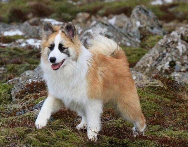 Исландско куче