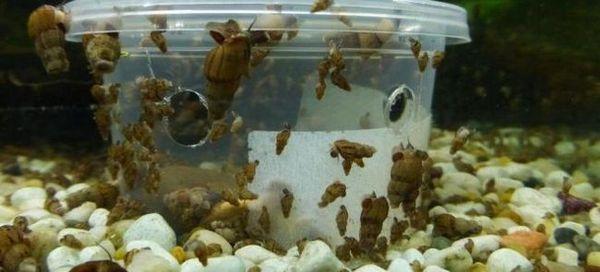 Се ослободуваме од полжави во аквариум: 4 најефикасни методи!