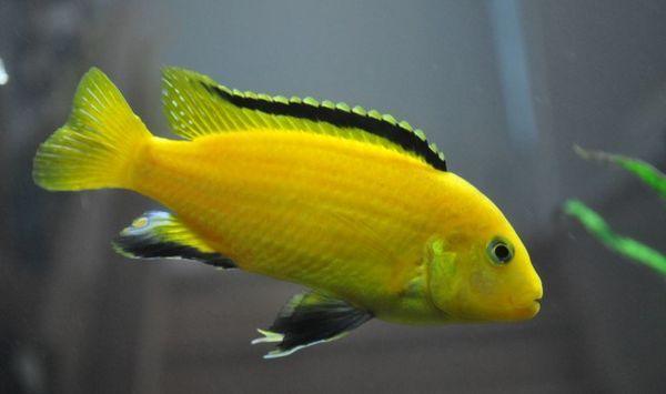 Labidochromis żółty.