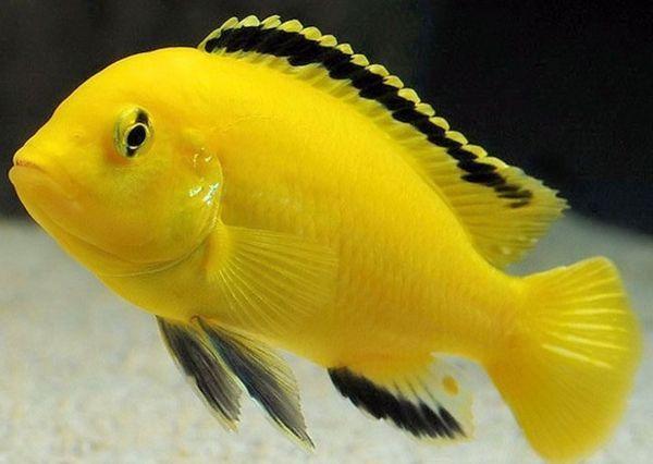 Żółty labidochrom.