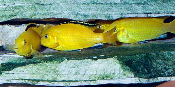 Canary Cichlid.