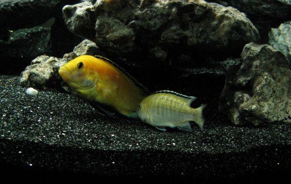 Размножаване на Labidochromis caeruleus.