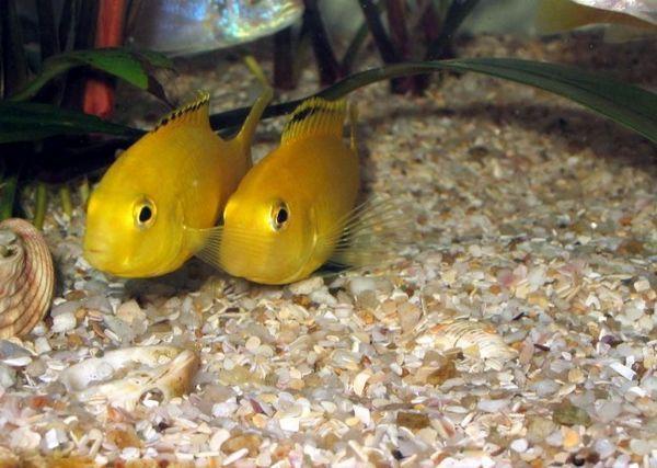 Tanganyika риба.