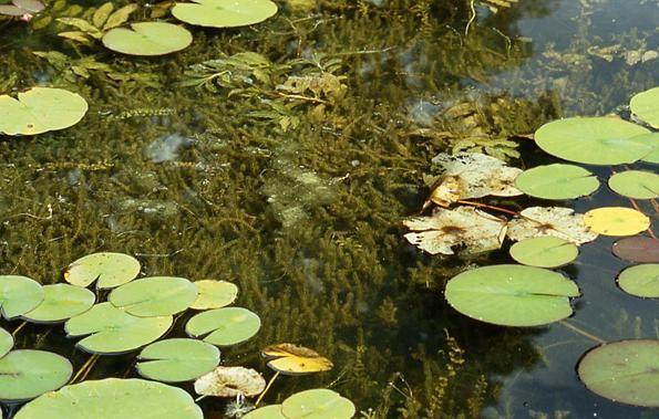 elodea pod vodou