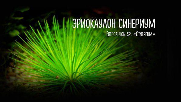 Eriocaulon synerium