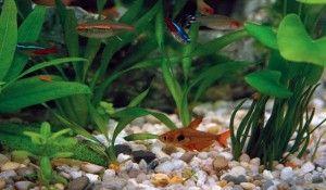 erythrosonus tetra v akváriu