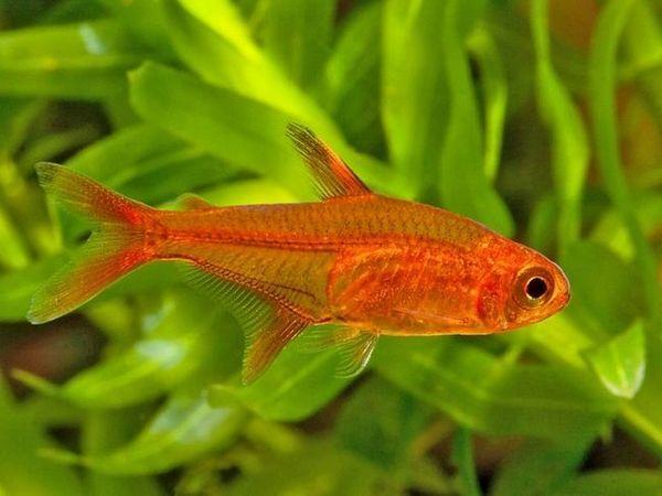 Ornatus czerwony
