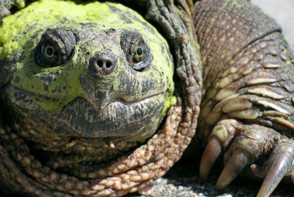 Кайманова костенурка