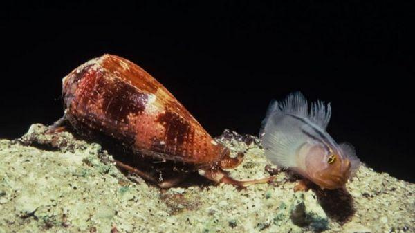 Морският охлюв нападна рибата.