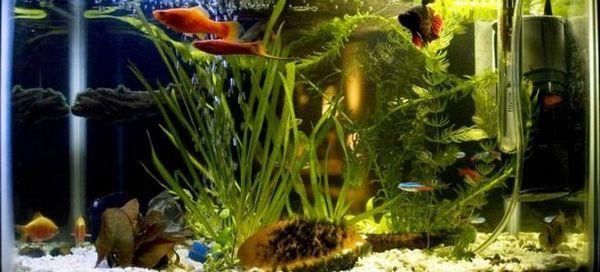 Як багато акваріумних рибок сумісні з рибкою півник?