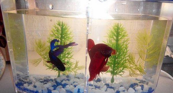 Два півники відділені в акваріумі