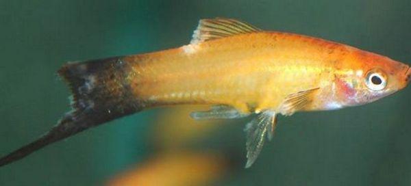 Як можна перемогти і вилікувати плавникову гниль у риб?
