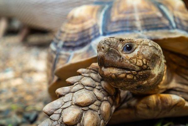 Как да определите пола на земя на костенурка?