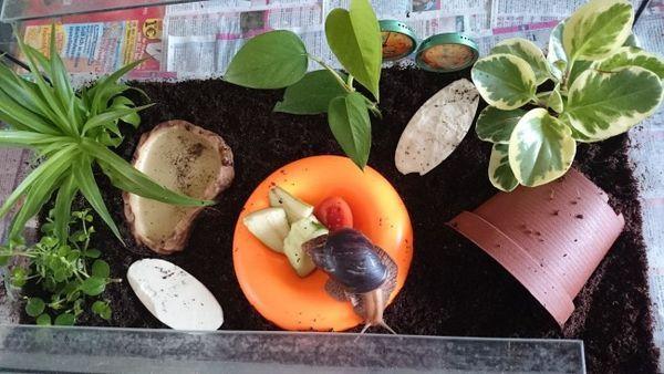 Decorațiunea de terariu pentru Achatina.