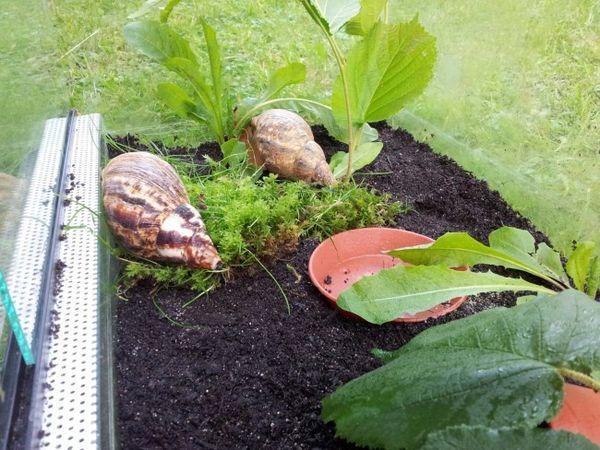 Plante în terariu pentru Achatina.