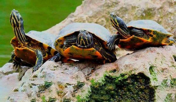 Как червени костенурки се чифтосват у дома