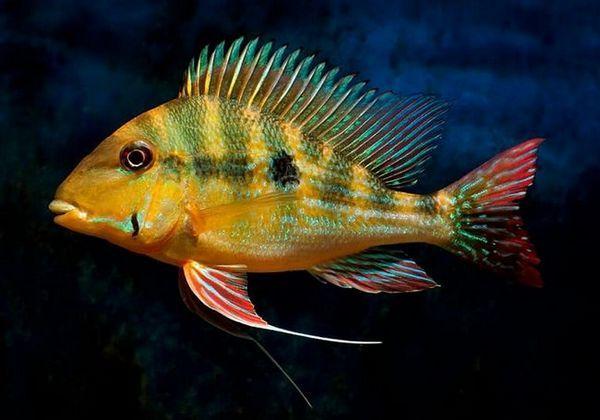 Види геофагусов і умови утримання рибок