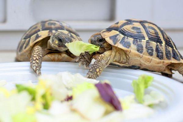 Как да се грижим за костенурка у дома?