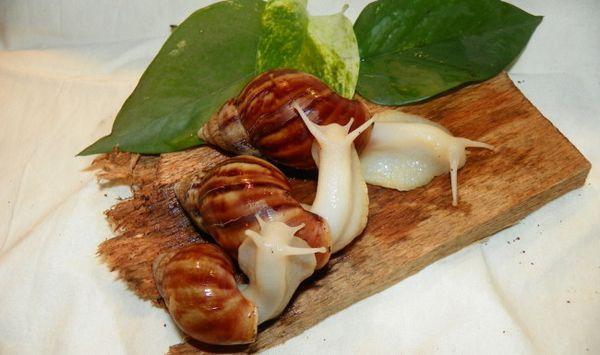 Jak se starat o hemeli, bílý nefrit a jiné fulachinové achatiny