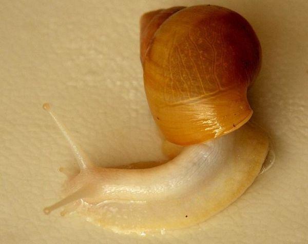 Achatina hemeli rodentia albino corp.