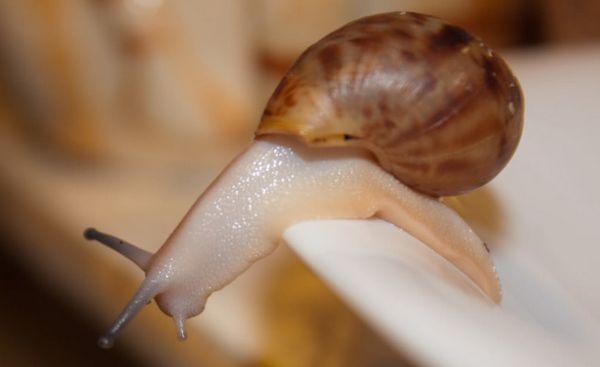 Achatina fulica albino corp pe o farfurie.