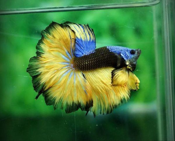 Петушок жовто-чорно-синього забарвлення.