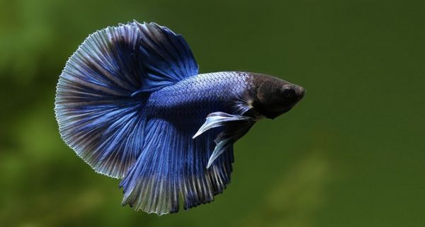 Бійцівський півник чорно-синього кольору.