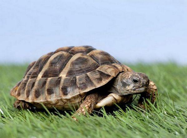 Как да се грижим за сухоземна костенурка у дома