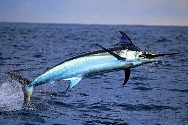 меч од риба