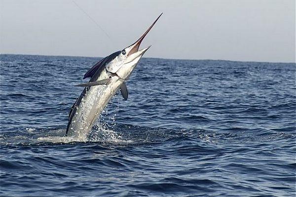 риба меч од вода