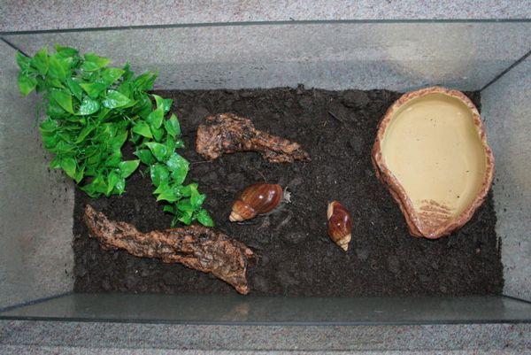 Ślimak Achatina w akwarium.