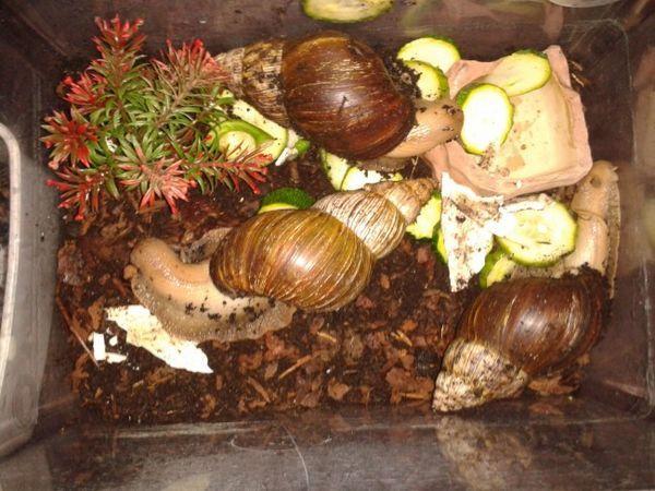 Dorosły ślimak Achatina.