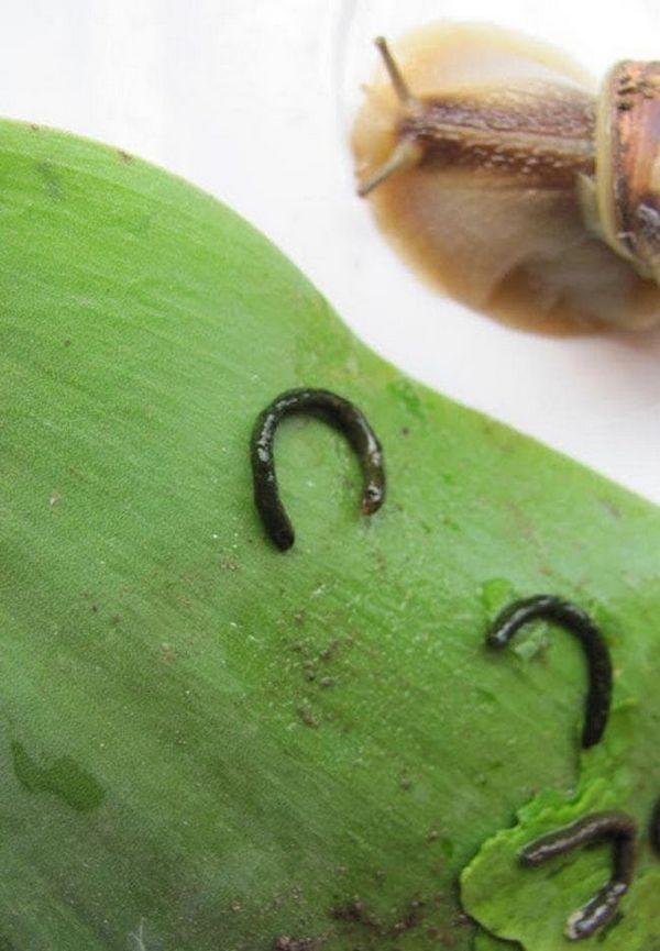 curățare în terariu la melcii de struguri
