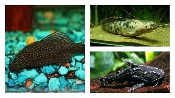 акваріумні сомики