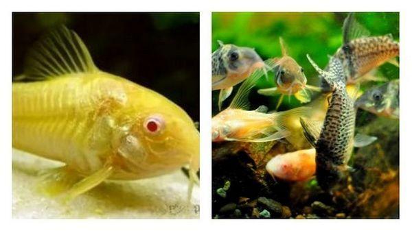 що собою представляють акваріумні сомики
