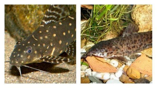 розведення акваріумних сомиків