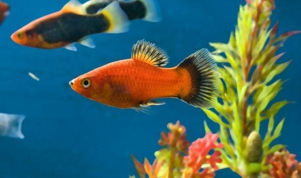 Акваріумні рибки.