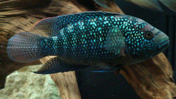 Риба Джек Демпсі.