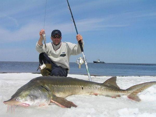 Есетра риба Калуга