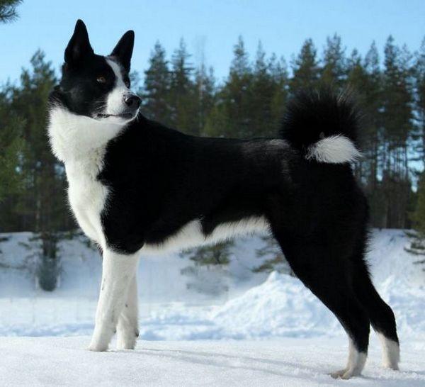 Карелско мече куче