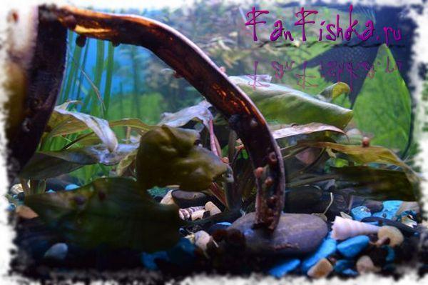 ослободете се од полжави во аквариум
