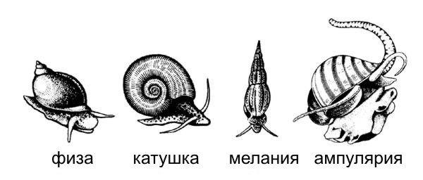 видови на аквариум полжави