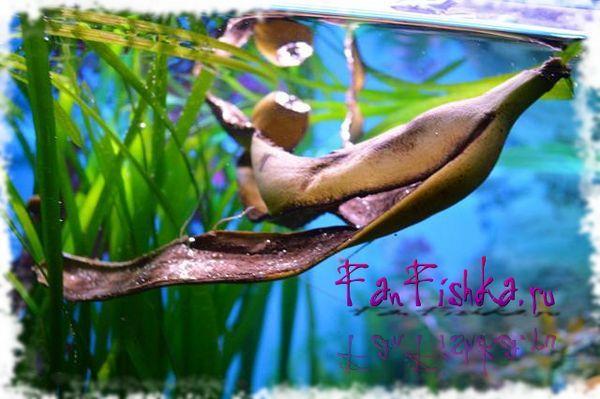 како да се ослободите од полжавите во аквариум